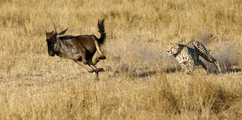 Cheetah hunting wildebeest