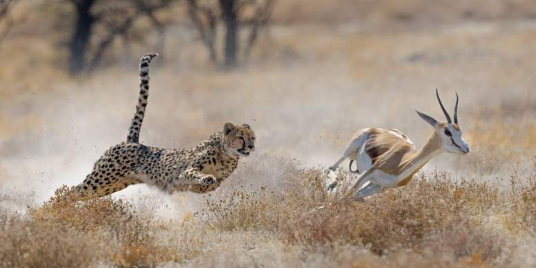 Cheetahs Tail Facts