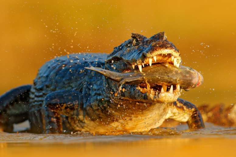 crocodile eating piranha
