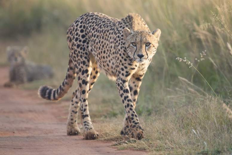 Cheetah Facts - Fact Animal