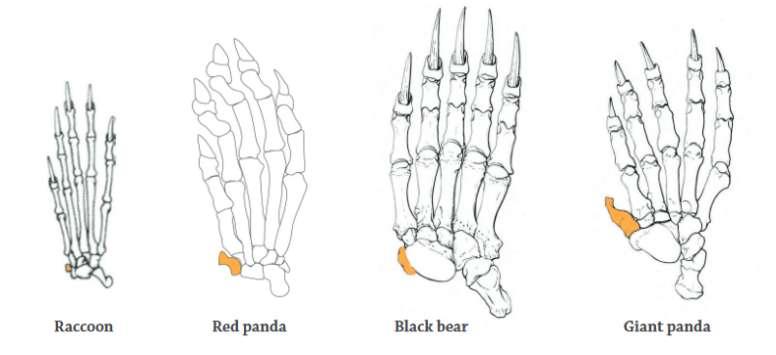 giant panda thumb to eat bamboo