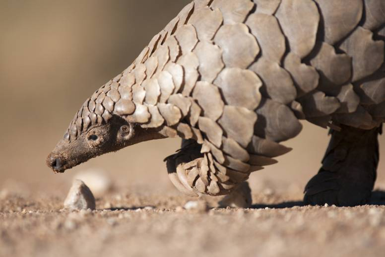 pangolin bipedal walking