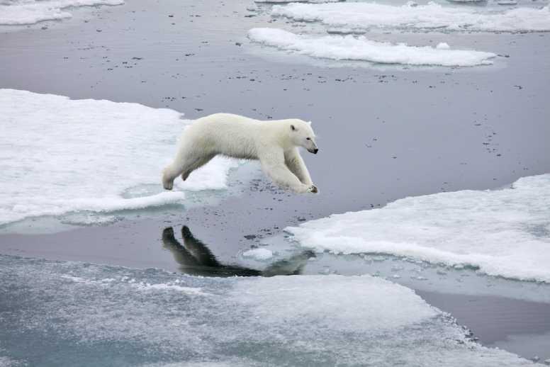 polar bear jumping on ice