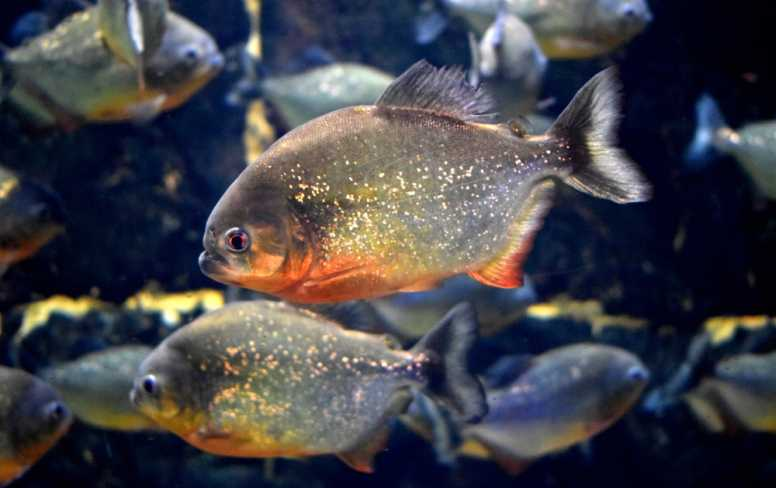 red bellied piranha facts