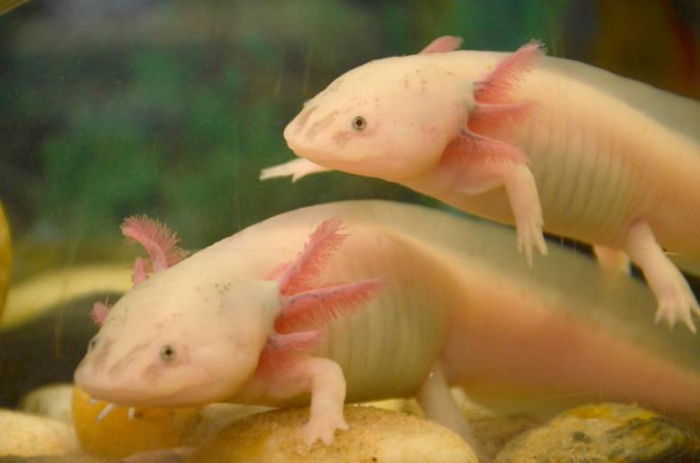 axolotl mexican walking fish facts