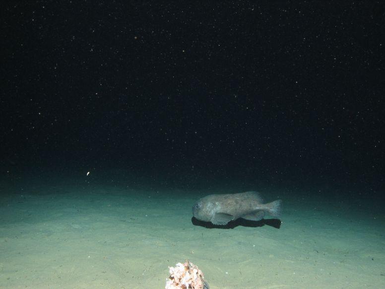 Blobfish photo