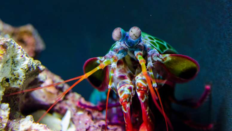 Mantis Shrimp Head
