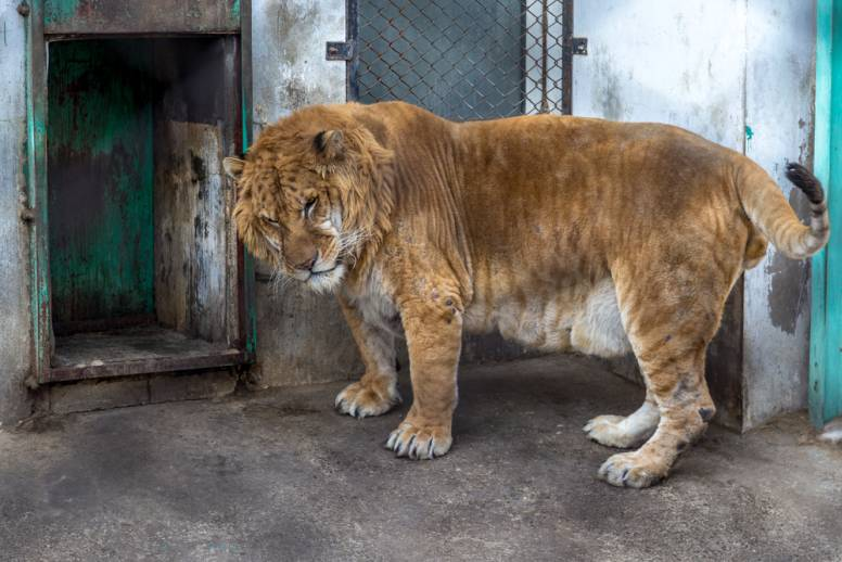 Chinese Liger