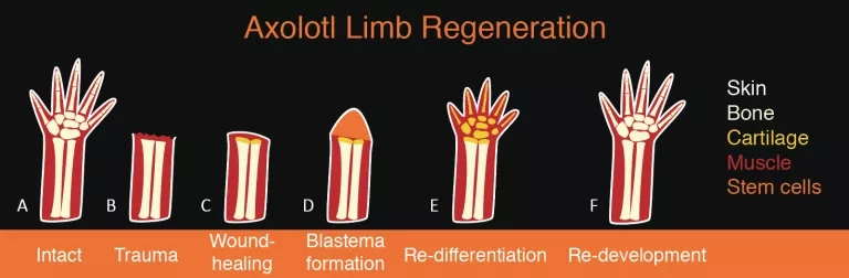 axolotl limb regeneration