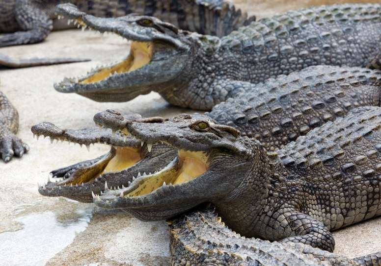 crocodiles mouth gaping