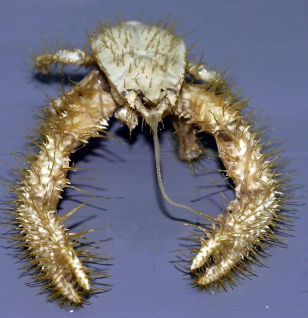 Hairy Yeti Crab
