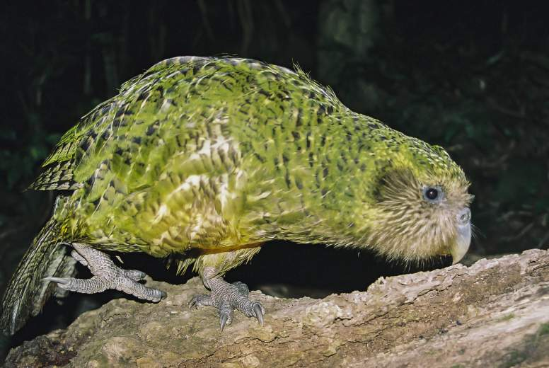 kakapo facts