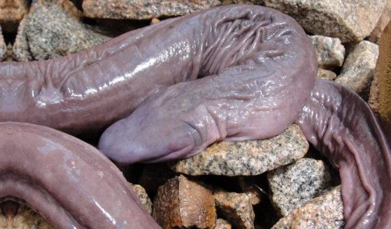 Penis Snake on rocks