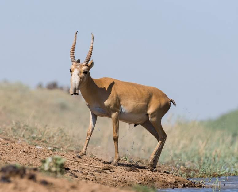 Saiga Antelope Facts