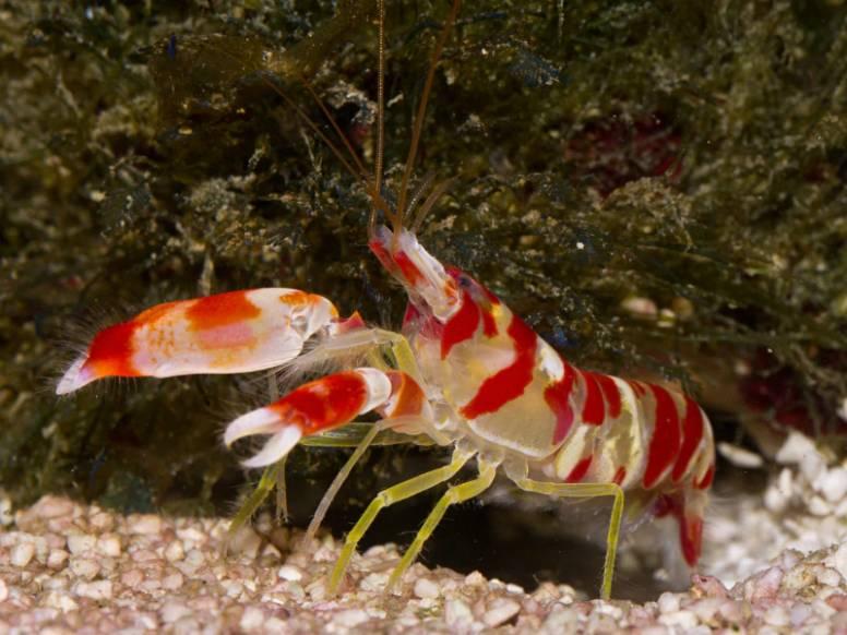 Pistol Shrimp