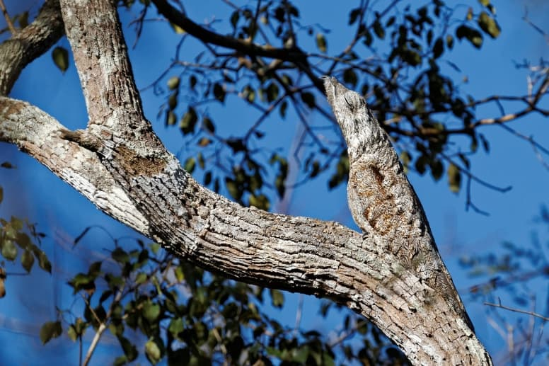 Great Potoo Facts