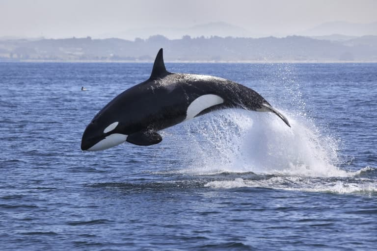 Killer Whale Orca Facts