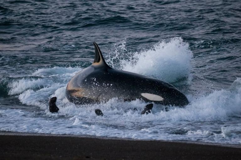 Killer Whale Hunting Sea Lion