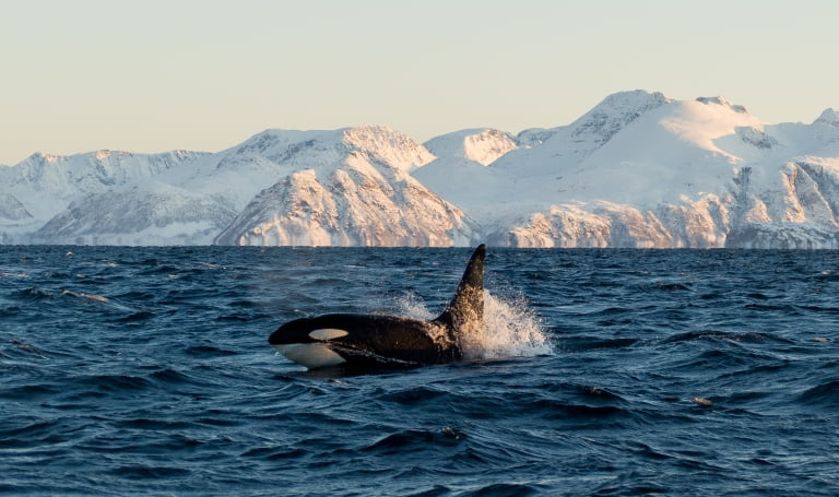 Orca Facts