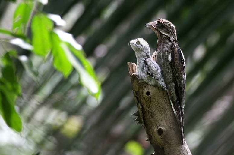 Potoo mother and baby