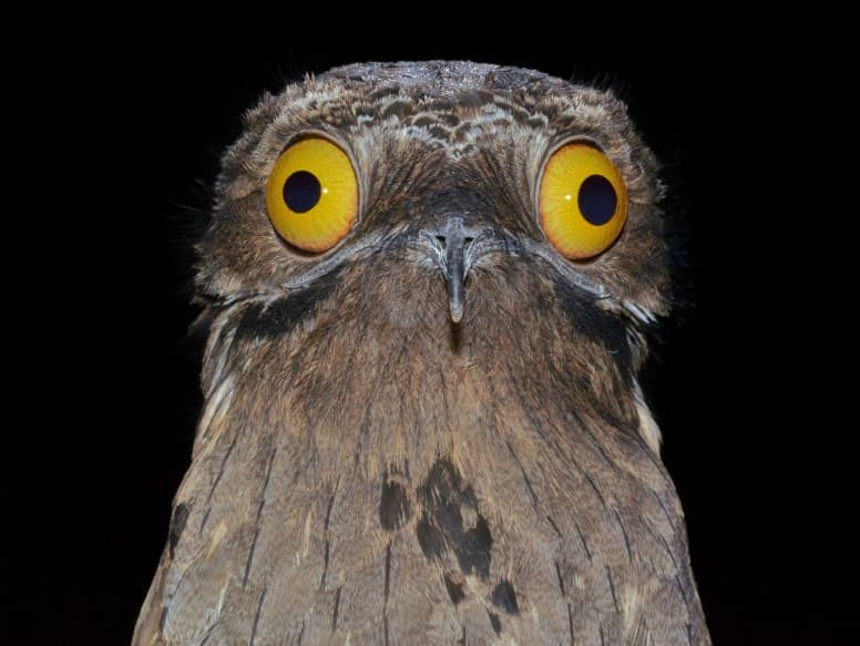 Potoo Facts