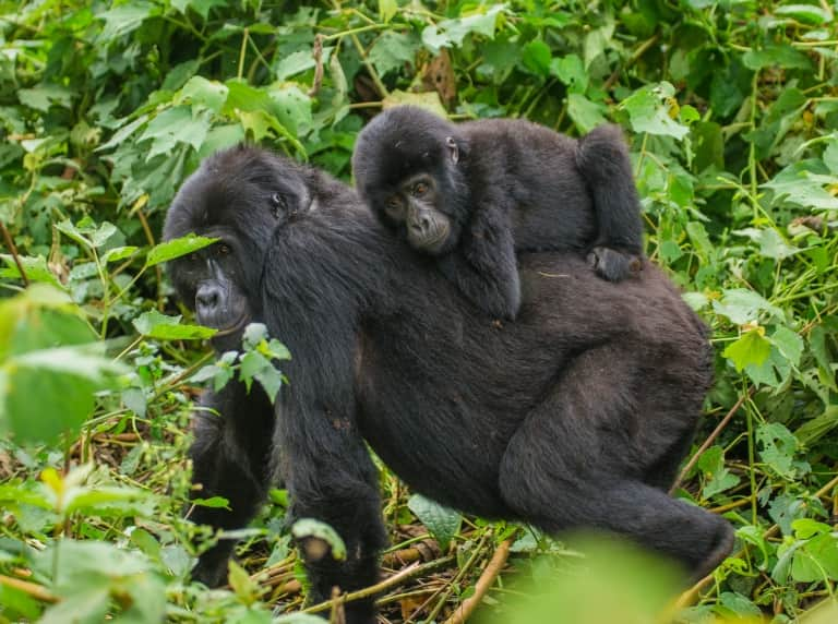 Baby Gorilla On Mothers Back