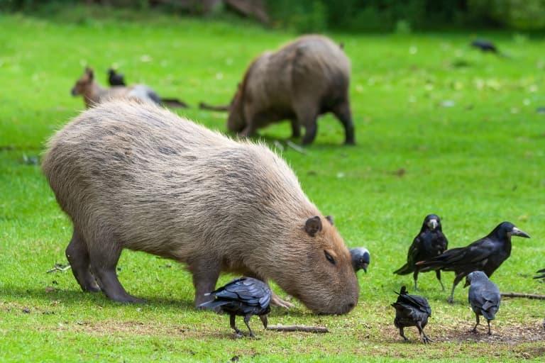 Capybara eating grass