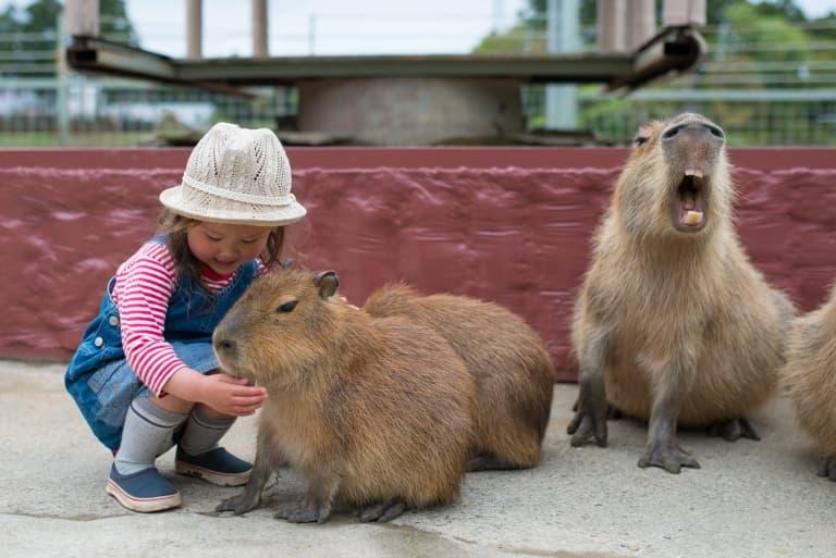 Capybara As A Pet
