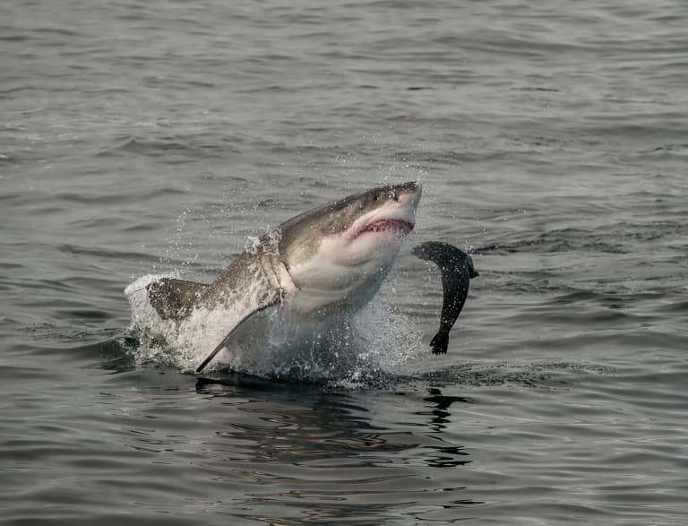 Great White Shark Attacking Seal