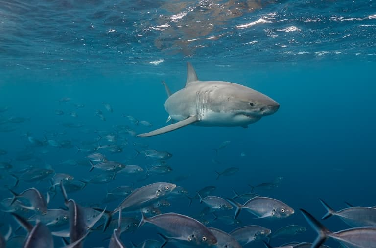 Great White Swimming with Fish