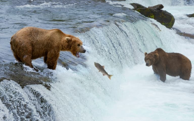 Grizzly Bear Hunting Salmon
