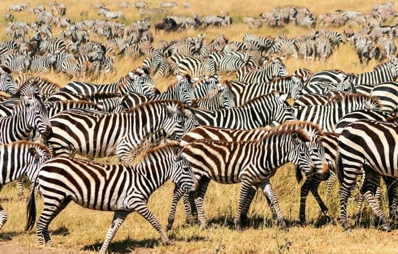 Super herd of zebra