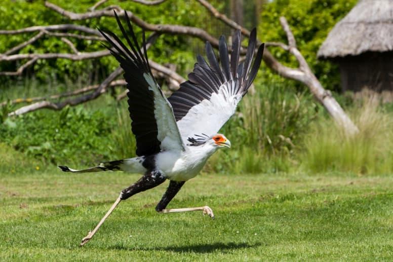 secretarybird flapping