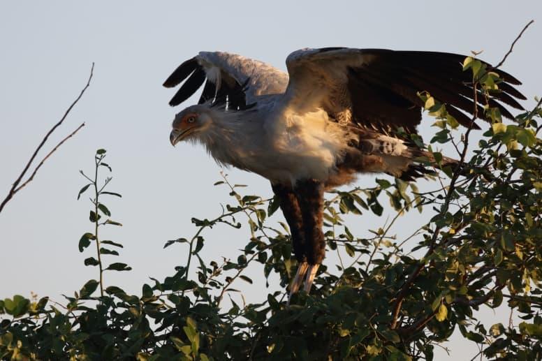 secretarybird in a tree