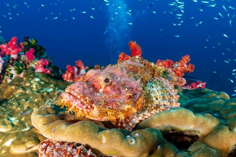 Stonefish camouflaged