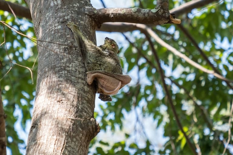colugo in a tree