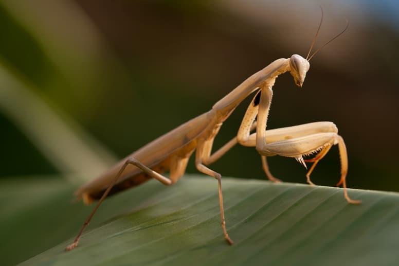 Brown Praying Mantis