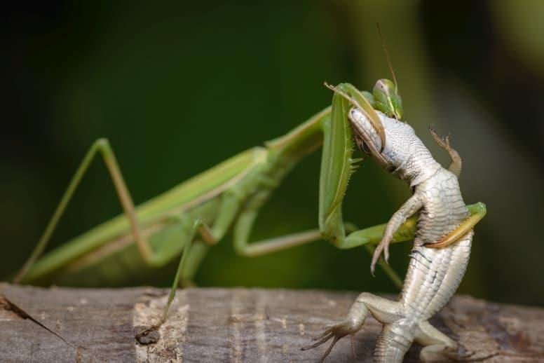 Praying Mantis eating a lizard