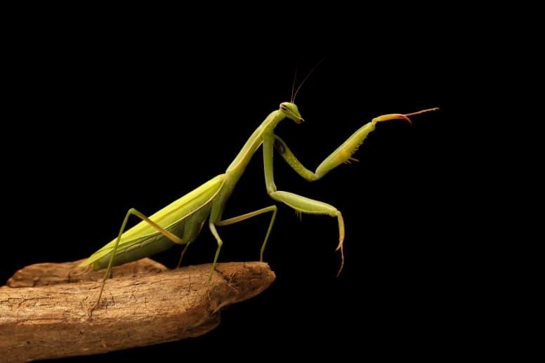 Praying Mantis Facts