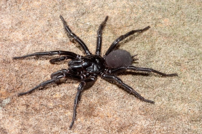 Sydney Funnel-Web Spider Facts