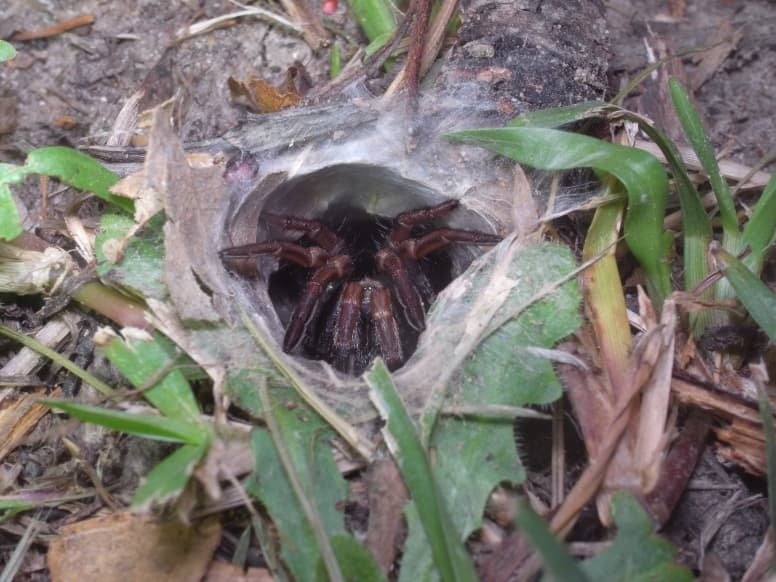 Sydney Funnel-Web Spider In a Hole