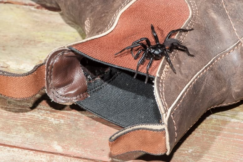 Sydney Funnel-Web On a boot