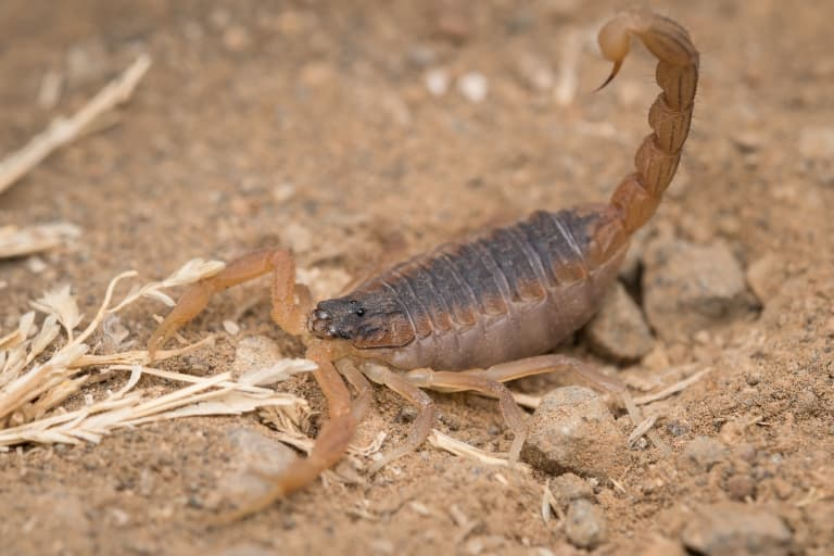 Indian Red Scorpion Facts
