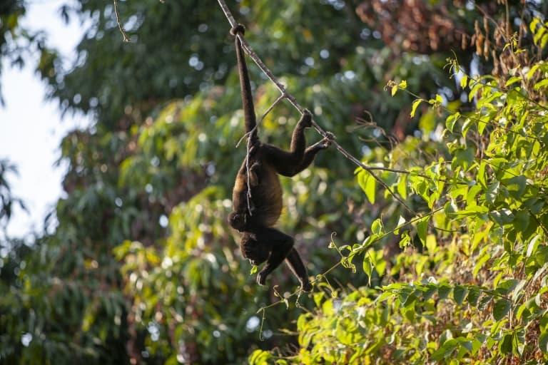 Howler Monkey Tail