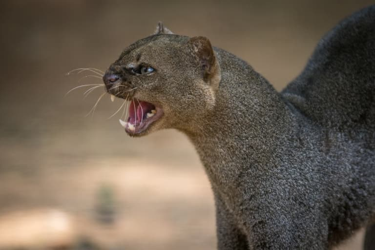 jaguarundi being vocal