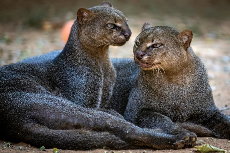 jaguarundi pair